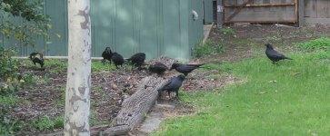Raven Feast